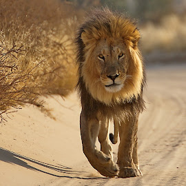 Bundu by Mart-Mari Biggs Duvenhage - Animals Lions, Tigers & Big Cats ( big cat, lion, wildlife, road, lions )