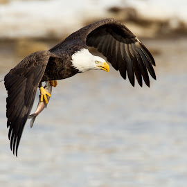 bald eagle by Mark  Postal - Animals Birds