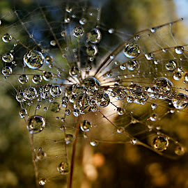 Grandeur Of The Fragile Structure by Marija Jilek - Nature Up Close Natural Waterdrops ( water, fragile structure, grandeur, nature, drops, plants, natural waterdrops, seeds )