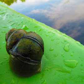 Snail on the water by Marcus Bennett - Animals Sea Creatures ( water, shell, waterscape, kayak, snail, closeup, animal )