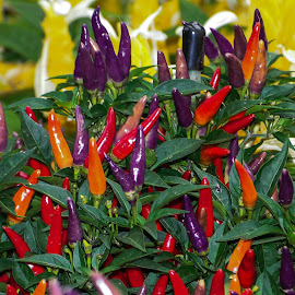 Hot Pepper... by Vishal Bhatnagar - Food & Drink Fruits & Vegetables