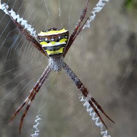 Signature spider in Kolkata by Sumanta Kallol - Nature Up Close Webs
