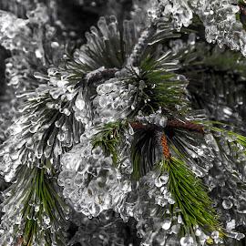 Fozen pine by Lucijan Španić - Nature Up Close Trees & Bushes ( icewater, ice storm, tree, nature, national geographic, ice, nature up close, pine )