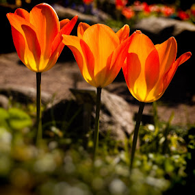 Tulips No 7 by Hans-Börje Jansson - Flowers Flower Gardens ( plant, sweden, lund, blomma, tulpan, tulip, växt, flower )