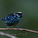 Beryl-Spangled Tanager