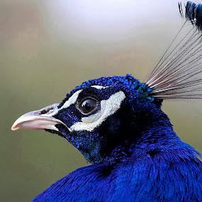 Blue Boy 2 by Wilson Beckett - Animals Birds ( lighting, autism, blue, serenity, mood, bulbs, awareness, factory, liub, april 2nd, charity, light,  )