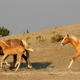Pretty Palominos by Kathy Tellechea - Animals Horses ( mare, palomino, nature, buttes, running, outside, foal, wild horses )