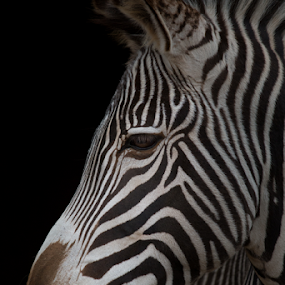 Zebra portrait by Marsilio Casale - Animals Other Mammals ( nature, zebra, portrait, closeup, animal )