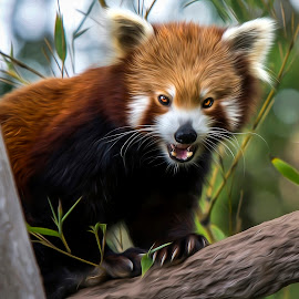 Red Panda by Shannon Rogers - Digital Art Animals ( shannon rogers photography, bear, bamboo, shannon rogers, panda, shaanxi province tibet, qinling mountains, burma, himalayas, red panda, red cat bear, red, zoo, australia, panda bear, australia zoo, china, animal )
