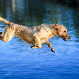 Launch by Troy Wheatley - Animals - Dogs Playing ( retriever, chase, labrador, dog, jump )