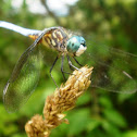 Blue Dasher Dragon fly