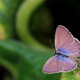Butterfly by Venkatesan Elumalai - Novices Only Macro ( butterfly, purple butterfly )