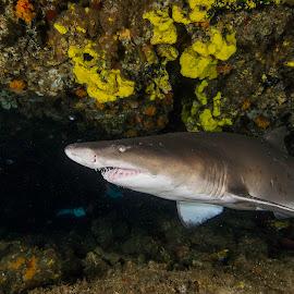 Cave of Teeth by Stuart Skene - Animals Sea Creatures ( marine, reef, underwater, aliwal shoal, shark )