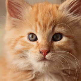 Ginger Pud by Kirsten Gamby - Animals - Cats Kittens ( kitten, ginger kitten, fluffy kitten, kitten portrait, ginger, cute kitten, earnest kitten, serious kitten )
