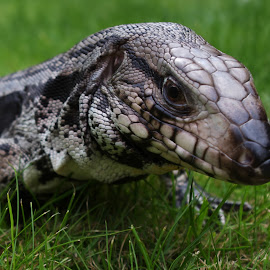 Blue Tegu - Loki by Gareth Dickin - Animals Reptiles ( lizard, scales, grass, green, claws, garden, eye, tegu )