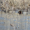 Green-winged Teal Duck (pair)