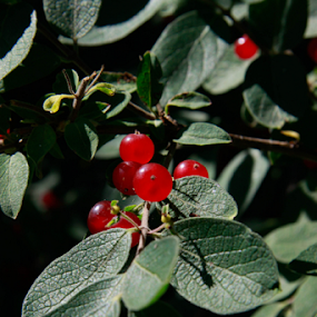 by Mitzi Sibert - Nature Up Close Other plants ( plant, red, nature, green, berries )