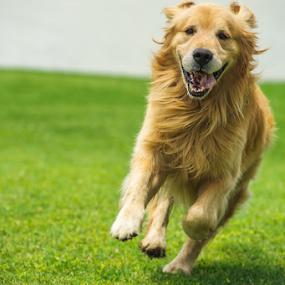 Golden Running by Cristobal Garciaferro Rubio - Animals - Dogs Running ( happy dog, dog, running, golden, golden retriever )