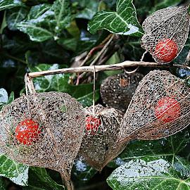 Splendor Of September Rain by Marija Jilek - Nature Up Close Other plants ( nature, lace lantern, splendor, plants, physalis alkekengy, ivy, rain, september )