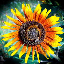 sunflower and a bee by Željko Jelavić - Novices Only Flowers & Plants