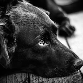 Boomer at Rest by Rick Loseke - Animals - Dogs Portraits ( black and white, pet, labrador, dog, #GARYFONGPETS, #SHOWUSYOURPETS )