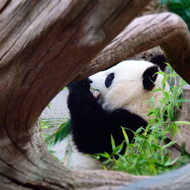 Dinner time by Lindsay Jones - Novices Only Wildlife ( bamboo, panda, cute, keyhole view )