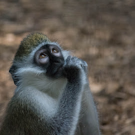 Grivet Monkey by Sheri Reddington Diozzi - Animals Other Mammals ( love, zoo, monkeys, baby animals, monkey,  )