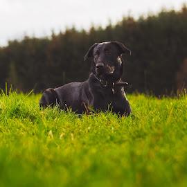 black field lab by Walter Evans - Animals - Dogs Portraits ( exposure, retriever, grass, green, collar, labrador, bokeh, brown eyes, sky, tree, trees, brown, dog, light, tree tops, black,  )
