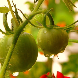 Drops on tomatoe by Lee Grubbs Burke - Nature Up Close Gardens & Produce ( roland, leela, lgb, lab, garden )