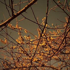 Willow in Blossom by Nat Bolfan-Stosic - Uncategorized All Uncategorized ( sunset, tender, orange flowers, willow, blossom )