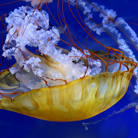 Jelly fish by Phyllis Plotkin - Animals Sea Creatures ( water, sea creature, aquarium, jelly fish )