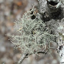 Fishbone Beard Lichen