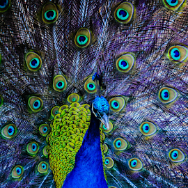 ...in all his glory... by Angeline JoVan - Novices Only Wildlife ( bird, color, blue, feathers, tail, peacock,  )