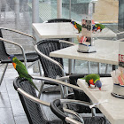 Rainbow Lorikeets (bad habit)