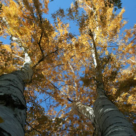 Aspens in Fall by Marji Macy Parker - Landscapes Forests