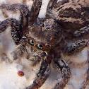 Jumping spider. Araña saltadora