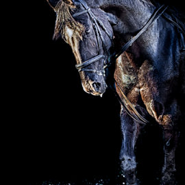 Alpha in the dark by Erik Kunddahl - Animals Horses ( equine, riding, equstrian, horse, equus, portrait, nikond600 )