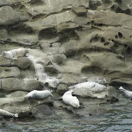 Lazy Harbor Seals near Shore Acres, Oregon by Bill Gorman - Animals Sea Creatures ( marine, seals, harbor, pacific, ocean, lazy, harbor seals, sealion )