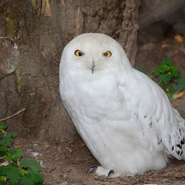 Snowy owl by Leslie-Ann Boisselle - Novices Only Wildlife ( owl, white, snowy,  )
