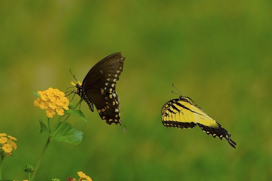 Move Over!! by Roy Walter - Animals Insects & Spiders ( nayure, animals, swallowtails, butterflies, insects )
