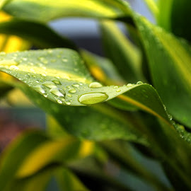 Water Droplets on Leaf by Alseka Cayden - Nature Up Close Leaves & Grasses ( water, nature, green, leaf, droplets )