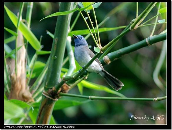 黑枕藍鶲(2007-09-09)0294
