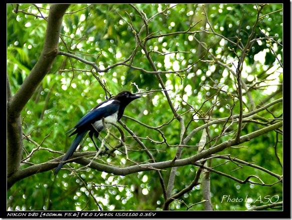 喜鵲(2008-04-27忠烈祠)0057