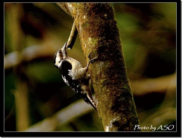 小啄木(2007-01-14壽豐林場)0092