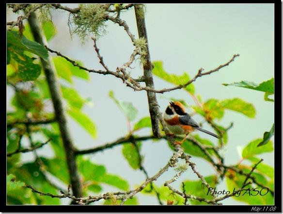紅頭山雀(2008-05-11中橫公路)0346