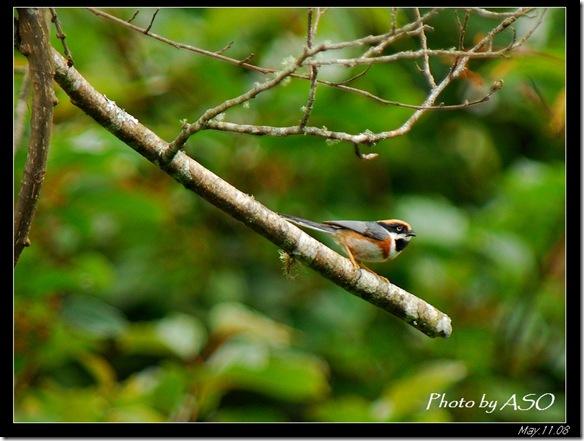 紅頭山雀(2008-05-11中橫公路)0336