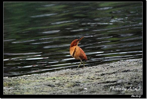 栗小鷺(2007-12-22美崙溪)0043