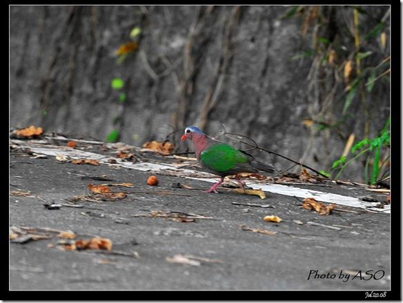 翠翼鳩(2008-07-20壽豐山邊路)0801