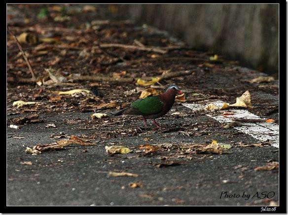 翠翼鳩(2008-07-20壽豐山邊路)0808