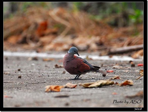 紅鳩(2008-07-21壽豐山邊路)0833